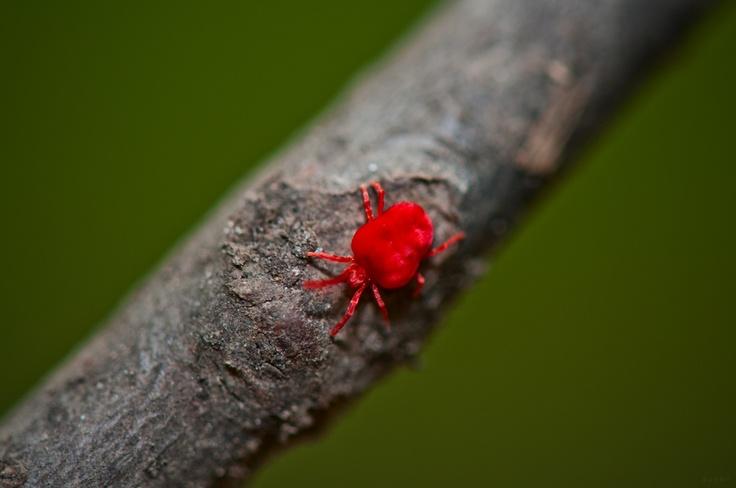 Red spider mites - photo#5
