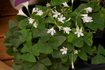 Shamrock plant garden jennifer 39 s garden pinterest - Shamrock houseplant ...
