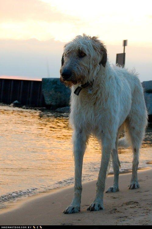 L'Irish Wolfhound Ee7ba52401a4143fcddae2b79328f434