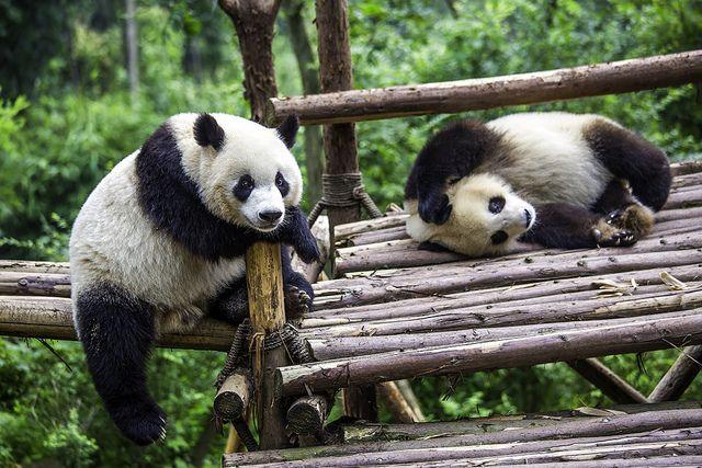 Lazy Panda 懶熊貓 - Flickr - Photo Sharing! | La Nature ...