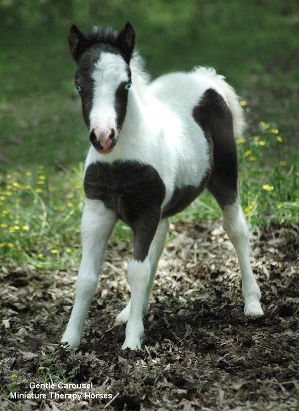 Cute miniature horses - photo#24