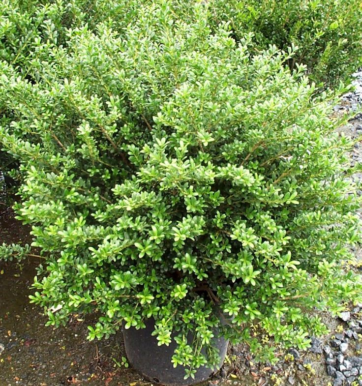Dwarf japanese holly plant research pinterest for Japanese landscaping plants