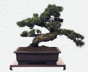 gambar bonsai cemara gambar bunga pinterest. Black Bedroom Furniture Sets. Home Design Ideas