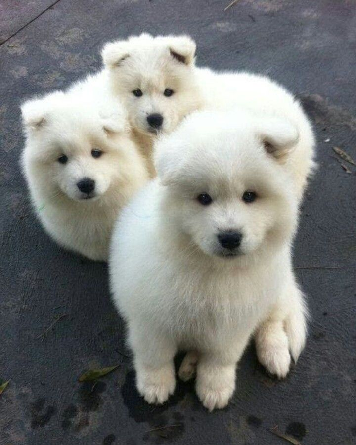 Cute Fluffy Husky Puppies Cute White Fluffy Puppy
