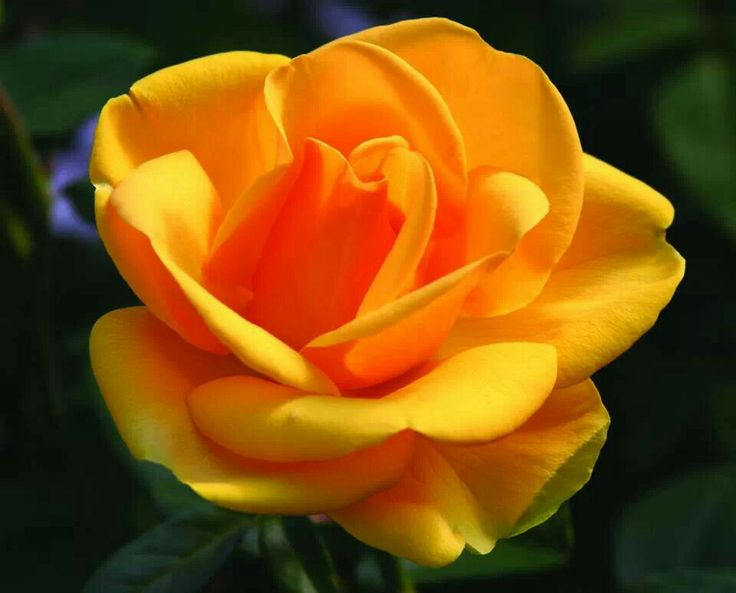 Beautiful yellow rose gardens - St Christopher Rose Gardens Roses Pinterest