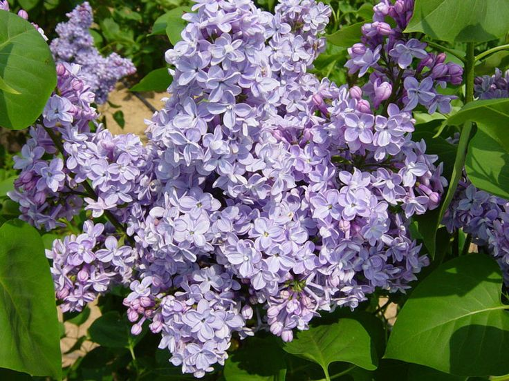 Syringa vulgaris 39 president grevy 39 lilacs pinterest - Syringa vulgaris ...