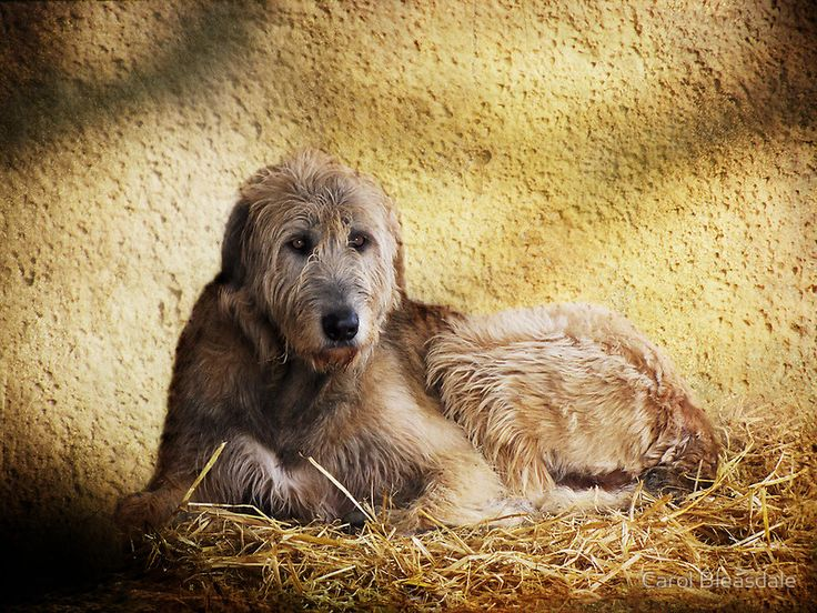 Irish Wolfhound | Irish Wolfhounds | Pinterest
