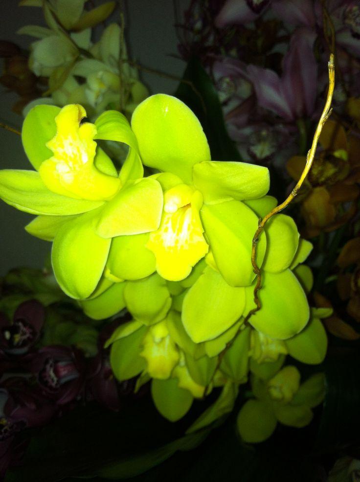 Lime green cymbidium orchidGreen Cymbidium Orchid