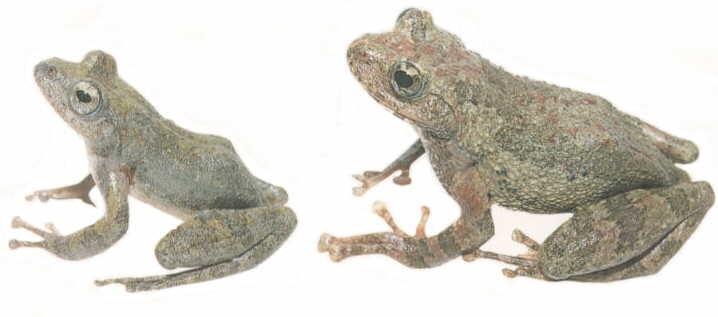 Kazika Frog from Japan
