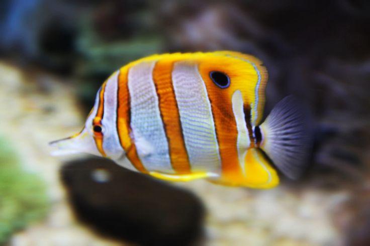 Hawaiian Tropical Fish Tropical Fish Pinterest