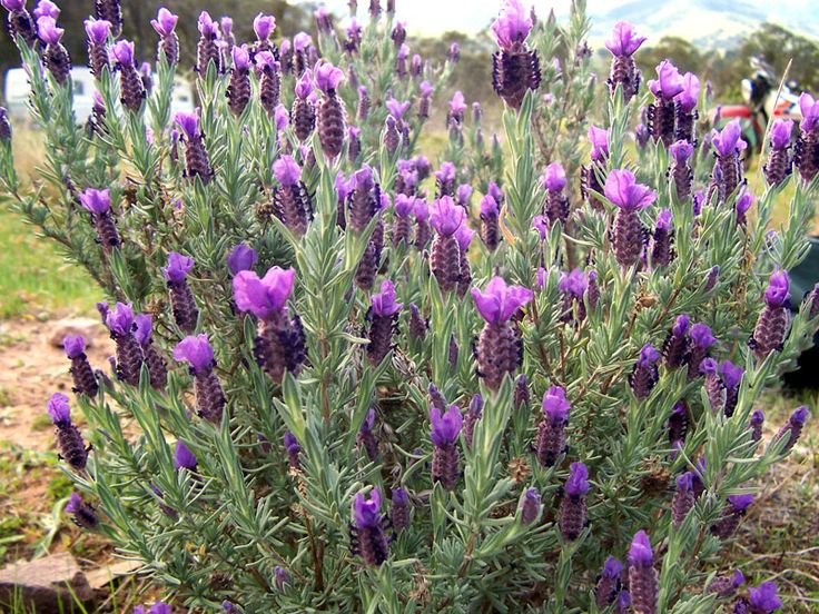 Topped lavender drought tolerant plants pinterest - Growing lavender pot ...