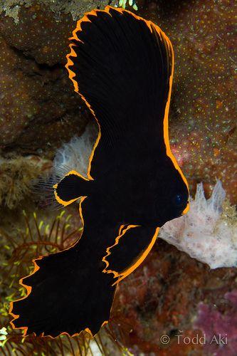 Batfish : pinnate batfish, juvenile The Wild & Colorful Sea Pinterest