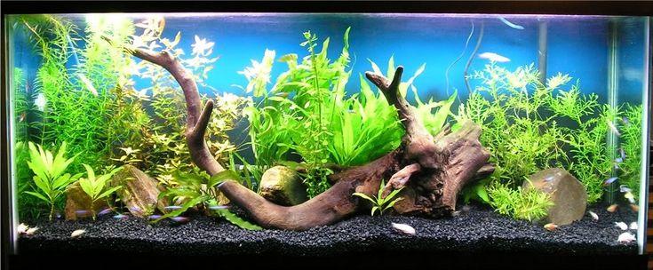 Show me your 55 gallon planted tank pets pinterest for 55 gallon fish tank setup