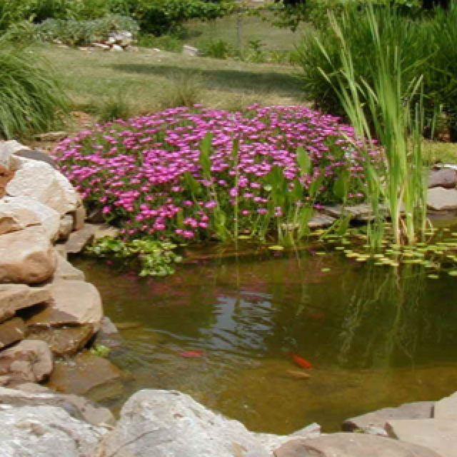 Ice plant near pond edge water features and edging ideas for Pond edging ideas