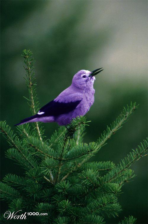 Purple Bird   Animals ...