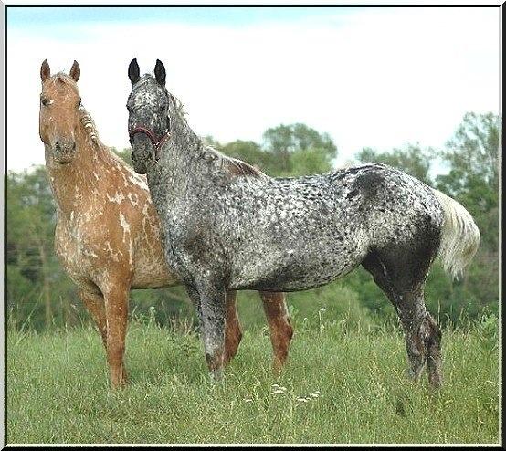 Beautiful Appaloosa Horse Beautiful Roan Draft Horse