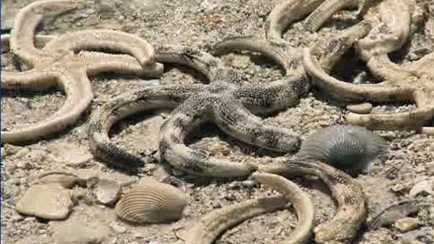 ... Earth - Thousands of Dead, Dying starfish Washing Ashore Across The U