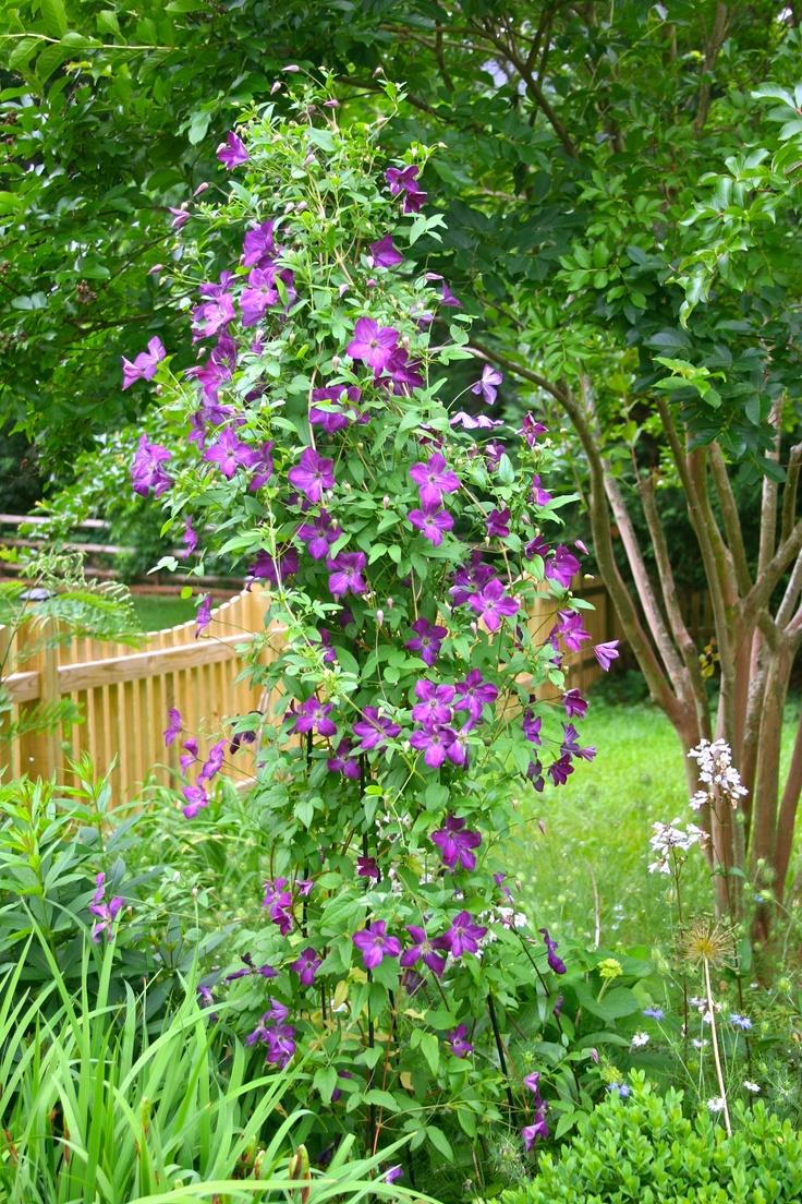 clematis 39 etoile violette gardening pinterest. Black Bedroom Furniture Sets. Home Design Ideas