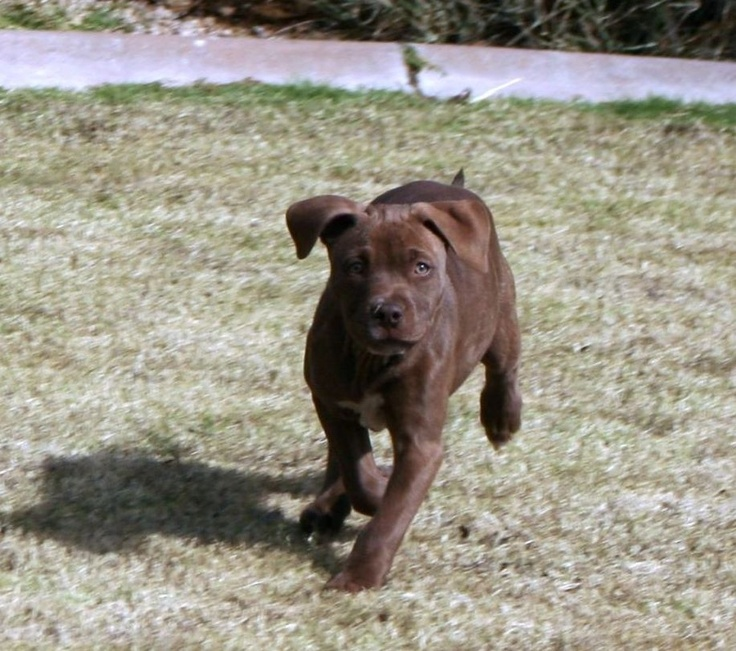 blue/red nose/brindle pitbull puppy | PIT BULLS | Pinterest