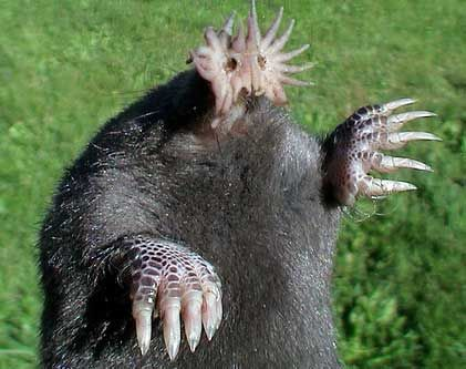 Star-nosed mole - anything headless with claws is not going to make friends easily.