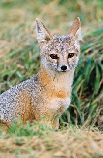 san joaquin fox In san luis obispo county, kit foxes range from the grasslands and oak woodlands of the salinas valley in the north-central part of the county to the arid scrub habitat of the san joaquin valley and carrizo plains in the southeastern part of the county.