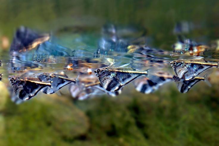 marble hatchetfish Freshwater Fancy Pinterest