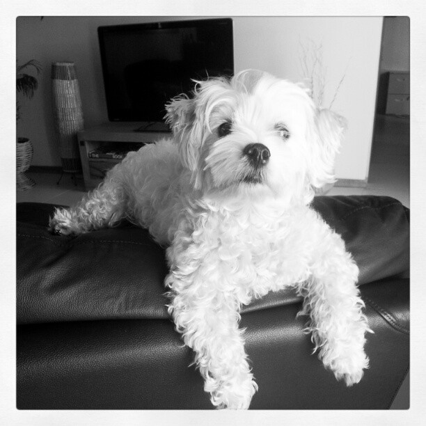 My dog sits on top of the lounge :/  #puppy  #maltese  #white  #cute  #dog  #maltese #photos