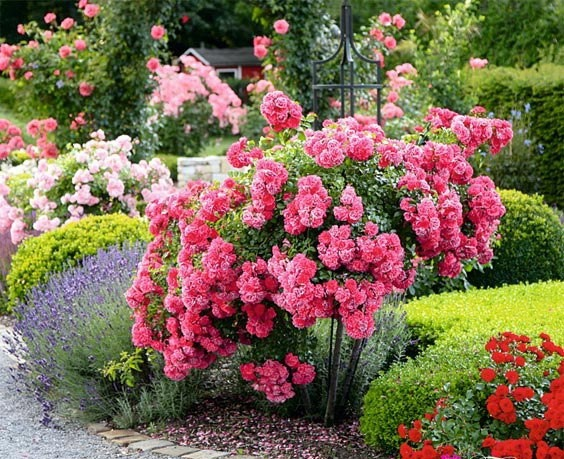 Rose bushes the GARDEN of my dreams Pinterest