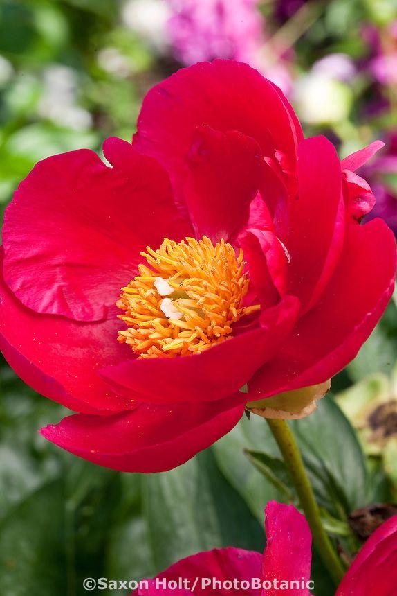 Paeonia  America  - red Peony flowerRed Peony Flower