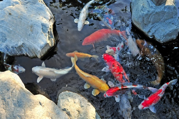 Outdoor goldfish pond goldfish and ponds pinterest for Goldfish pond