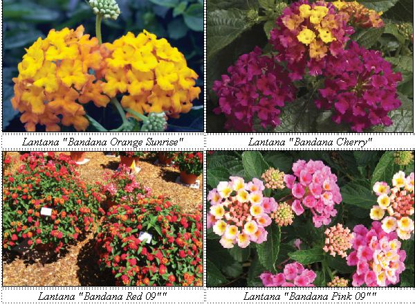 """LANTANA: No fuss, no muss, always flowering, different colors, soooo pretty, and reminds me of my grandmother's garden.  ................................... Bandana™ series plants are very well-branched with a nice, uniform, mounding habit and offer significantly larger flowers than traditional Lantana varieties. These early flowering varieties come in a range of eye-catching colors. They grow 20-26"""" tall and 24-32"""" wide. Flowers begin yellow, maturing to a soft pink. Lantana makes a nice groundcover for very hot, dry areas with poor soil conditions. They bloom all summer long"""