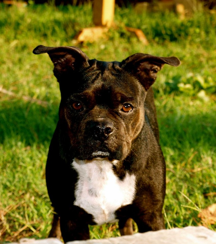 Boston Terrier/Frenchie Mix :) | Dogs | Pinterest