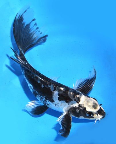 Live koi pond fish large 6 7 black kikokuryu butterfly for Rare koi fish