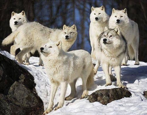 White Wolves -n...