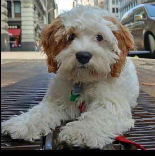 English Sheepdog Poodle Mix | Animals | Pinterest