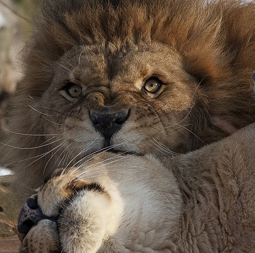 lion and lioness love quotes Quotes