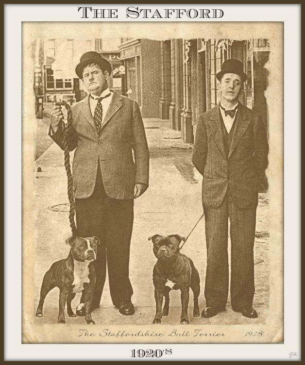 Le Staffordshire Bull Terrier : le staffie F055c0a636891beec4cc1a88430e2c7f