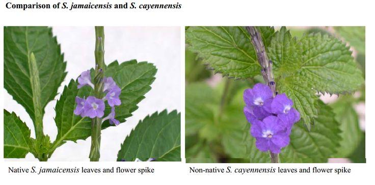 florida porterweed plants