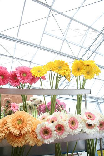 Bright, cheery, America's finest; the California Grown Gerbera Daisy.