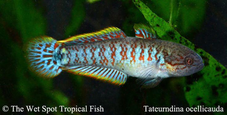 Peacock Gudgeon Tateurndina ocellicauda live freshwater tropical fi ...