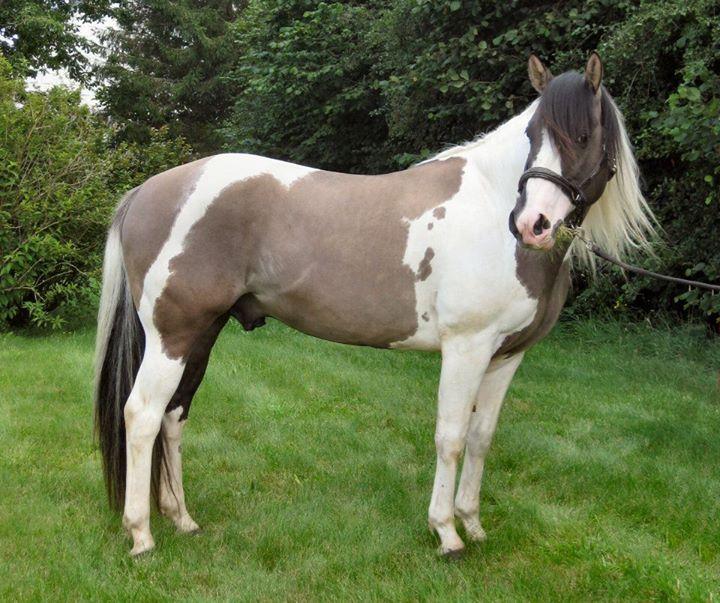 Paint Horse Stallions  Paint Pony Stallions! Black
