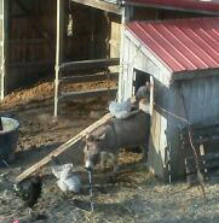 Backyard Barnyard : Donk and his peeps )  Backyard Barnyard  Pinterest