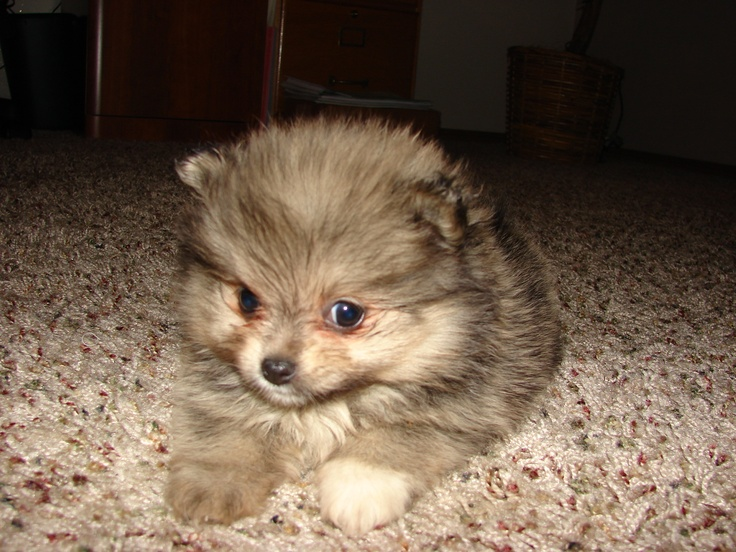 Brown Teacup Pomeranian Brown teacup pomeranianTeacup Pomeranian Brown