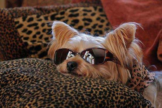 Pin by Lacey Irish on Be kind to animals | Pinterest Yorkshire Terrier 911