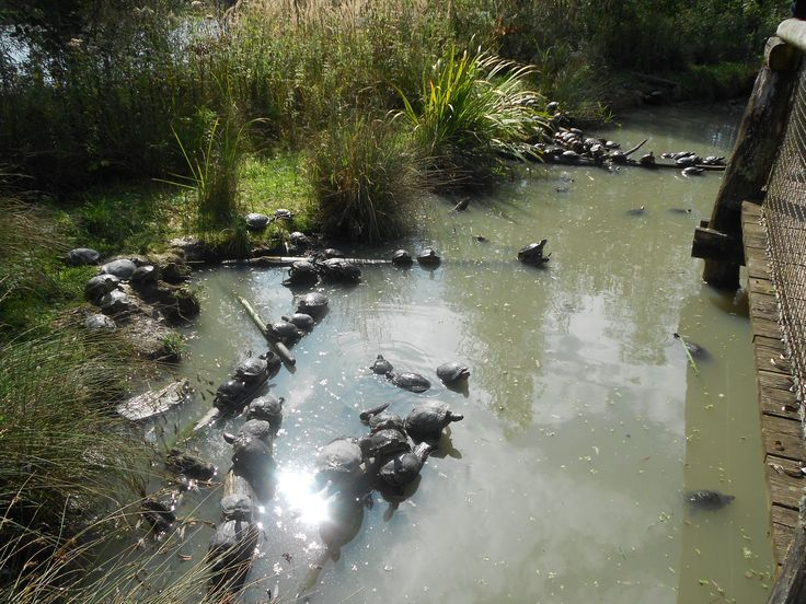 Bassin des tortues de floride tortues pinterest - Bassin tortue floride strasbourg ...