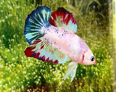 Imported koi dragon male hmpk halfmoon plaka betta live for Live dragon koi fish