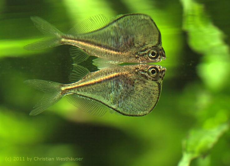 Black-Winged Hatchetfish : ... : black-winged hatchetfish Nome cient?fico: Carnegiella marthae