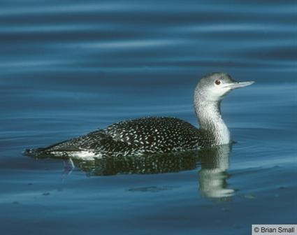 Red-throated Loon | Birds Spotted in 2013 | Pinterest Red Throated Loon