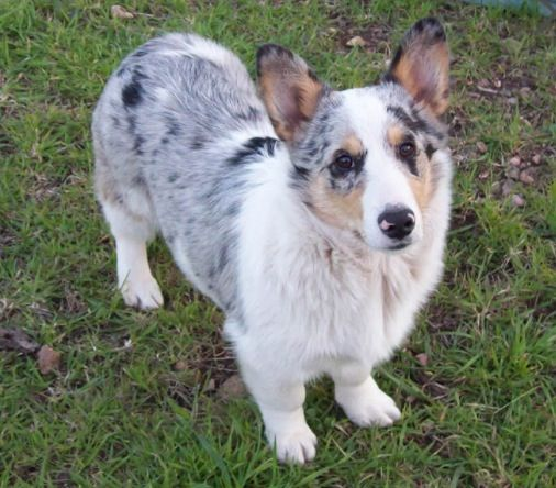 husky corgi mix!!!!! | dogs | Pinterest