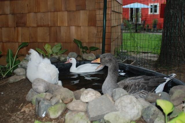 Duck coop pen farm and animal ideas pinterest for Raising fish in a swimming pool